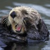 Called otterboxing, wild otters are pitted against trained dogs in a fight to the death.