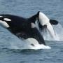 https://en.wikipedia.org/wiki/Killer_whale#/media/File:Killerwhales_jumping.jpg